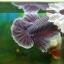 """(ขายแล้วครับ)""""คัดเกรด""""ปลากัดครีบสั้นหูช้าง-Halfmoon Plakats Big Ear Lavender thumbnail 6"""
