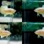 """(ขายแล้วครับ)""""คัดเกรด""""ปลากัดครีบสั้น-Halfmoon Plakats Gold Platinum thumbnail 1"""