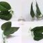 สินค้านำเข้าจากประเทศญี่ปุ่นใบไม้ผลิตจากผ้าอย่างดี - Leaf Natural Aquarium For Bettafish Premium Quality Grade thumbnail 1