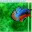 """(ขายแล้วครับ)""""คัดเกรดประกวด""""ปลากัดครีบสั้น-Over Halfmoon Plakats Fancy Dragon Blue Orange Quality Grade thumbnail 3"""