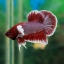 """(ขายแล้วครับ)""""คัดเกรด""""ปลากัดครีบสั้นหูช้าง-Halfmoon Plakats Super BigEar Lavender thumbnail 6"""