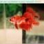 ปลากัดครีบสั้น-Halfmoon Plakat Fancy Red Koi thumbnail 4