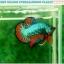 """(ขายแล้วครับ)""""คัดเกรดประกวด""""ปลากัดครีบสั้น-Over Halfmoon Plakats Fancy Dragon Green Orange Quality Grade thumbnail 1"""