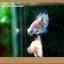 คัดเกรดปลากัดครีบสั้น- Halfmoon Plakat Fancy Dragon thumbnail 12