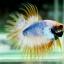 (ขายแล้วครับ)ปลากัดครีบยาวหางมงกุฎ-Crowntails01 thumbnail 4