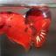 ปลากัดคัดเกรดครีบสั้น - Halfmoon Plakad Fancy Red Devil Premium Quality Grade AAA+ thumbnail 1