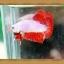 ปลากัดครีบสั้น Halfmoon Plakats thumbnail 3