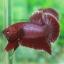 (ขายแล้วครับ)ปลากัดครีบสั้น - Halfmoon Plakats RED2 thumbnail 1