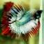 (ขายแล้วครับ)ปลากัดครีบยาวหางมงกุฎ-Crowntails06 thumbnail 7