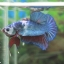 """(ขายแล้วครับ)""""คัดเกรด""""ปลากัดครีบสั้น-Halfmoon Plakats Super Fancy thumbnail 6"""
