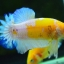 คัดเกรดปลากัดครีบสั้น-Halfmoon Plakad Fancy Dragon Yellow Body Hi Quality Grade thumbnail 4