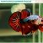 """""""คัดเกรด""""ปลากัดครีบสั้น-Halfmoon Plakats Fancy Dragon Devil Short Body thumbnail 1"""