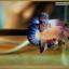 ปลากัดครีบสั้น-Halfmoon Plakat Fancy Marble thumbnail 2