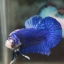 """(ขายแล้วครับ)""""คัดเกรด""""ปลากัดครีบสั้น-Halfmoon Plakats Fancy Blue Dragon thumbnail 2"""