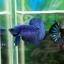 """(ขายแล้วครับ)""""คัดเกรด""""ปลากัดครีบสั้น-Halfmoon Plakats Super Fancy Blue thumbnail 6"""