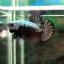 (ขายแล้วครับ)ปลากัดครีบสั้น-Halfmoon Plakats Dragon Copper thumbnail 3