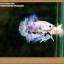 คัดเกรดปลากัดครีบสั้น- Halfmoon Plakat Fancy Dragon thumbnail 3