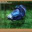 คัดเกรดปลากัดครีบสั้น- Halfmoon Plakat Fancy Blue Dragon thumbnail 1