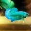"""(ขายแล้วครับ)ตอนรับปีใหม่""""คัดเกรด""""ปลากัดครีบสั้น-Halfmoon Plakats Super Green thumbnail 2"""