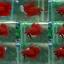 (ขายแล้วครับ)Super red ปลากัดครีบสั้น-Halfmoon Plakats Super Red thumbnail 1