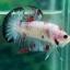 """(ขายแล้วครับ)""""คัดเกรด""""ปลากัดครีบสั้น-Halfmoon Plakats Fancy Koi Red Mark thumbnail 10"""