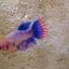 ปลากัดครีบยาวหางมงกุฎตัวเมีย - Female CrownTails Fancy Thailand thumbnail 2