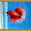 ปลากัดครีบยาว - Halfmoon thumbnail 5