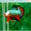 """(ขายแล้วครับ)""""คัดเกรดประกวด""""ปลากัดครีบสั้น-Over Halfmoon Plakats Fancy Dragon Green Orange Monster Quality Grade thumbnail 7"""