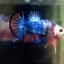 """(ขายแล้วครับ)ตอนรับปีใหม่""""คัดเกรด""""ปลากัดครีบสั้น-Halfmoon Plakats Super Fancy thumbnail 11"""