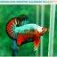 """(ขายแล้วครับ)""""คัดเกรดประกวด""""ปลากัดครีบสั้น-Over Halfmoon Plakats Fancy Dragon Green Orange Monster Quality Grade thumbnail 9"""