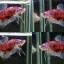 """(ขายแล้วครับ)""""คัดเกรด""""ปลากัดครีบสั้น-Halfmoon Plakats Fancy Red thumbnail 1"""