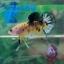 """(ขายแล้วครับ)""""Grade A""""ปลากัดครีบสั้น-Halfmoon Plakats Super Fancy Koi Grade A thumbnail 4"""