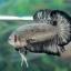"""(ขายแล้วครับ)""""คัดเกรด""""ปลากัดครีบสั้น-Halfmoon Plakats Black Dragon thumbnail 8"""