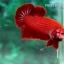 (ขายแล้วครับ)ปลากัดครีบสั้น - Halfmoon Plakats SUPER RED thumbnail 3