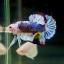"""(ขายแล้วครับ)""""คัดเกรด""""ปลากัดครีบสั้น-Halfmoon Plakats Super Fancy Grade AAA (ปลาประกวด) thumbnail 6"""