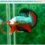 """(ขายแล้วครับ)""""คัดเกรดประกวด""""ปลากัดครีบสั้น-Over Halfmoon Plakats Fancy Dragon Green Orange Monster Quality Grade thumbnail 2"""