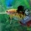 """(ขายแล้วครับ)""""Grade A""""ปลากัดครีบสั้น-Halfmoon Plakats Super Fancy Koi Grade A thumbnail 8"""