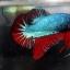 """(ขายแล้วครับ)""""คัดเกรด""""ปลากัดครีบสั้น-Halfmoon Plakats Fancy Dragon Grren Red เกรดพ่อพันธุ์ thumbnail 2"""