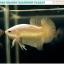 """(ขายแล้วครับ)""""คัดเกรด""""ปลากัดครีบสั้น-Halfmoon Plakats Super Gold Dragon 02 thumbnail 1"""