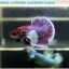 """(ขายแล้วครับ)""""คัดเกรด""""ปลากัดครีบสั้นหูช้าง-Halfmoon Plakats Big Ear Lavender thumbnail 3"""