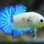 คัดเกรดปลากัดครีบสั้น-Halfmoon Plakad Fancy Marble Hi Quality Grade thumbnail 4