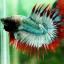 (ขายแล้วครับ)ปลากัดครีบยาวหางมงกุฎ-Crowntails06 thumbnail 3