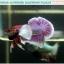 """(ขายแล้วครับ)""""คัดเกรด""""ปลากัดครีบสั้นหูช้าง-Halfmoon Plakats Big Ear Lavender thumbnail 9"""