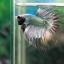(ขายแล้วครับ)ปลากัดครีบยาวหางมงกุฏ-Crowntails Fancy Copper thumbnail 4