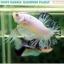 """(ขายแล้วครับ)""""คัดเกรด""""ปลากัดครีบสั้น-Halfmoon Plakats Fancy Marble Quality Grade thumbnail 9"""