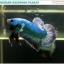 """(ขายแล้วครับ)""""คัดเกรด""""ปลากัดครีบสั้น-Halfmoon Plakats Grizzled thumbnail 8"""