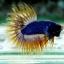 (ขายแล้วครับ)ปลากัดครีบยาวหางมงกุฎ-Crowntails02 thumbnail 2