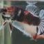 """(ขายแล้วครับ)""""คัดเกรด""""ปลากัดครีบสั้น-Halfmoon Plakats Fancy monster thumbnail 7"""