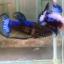 ปลากัดคัดเกรดครีบสั้นตัวเมีย - Female Halfmoon Plakad Fancy Mustrad Quality Grade AAA+ thumbnail 2