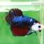 (ขายแล้วครับ)ปลากัดครีบสั้น-Fancy Halfmoon Plakats thumbnail 6